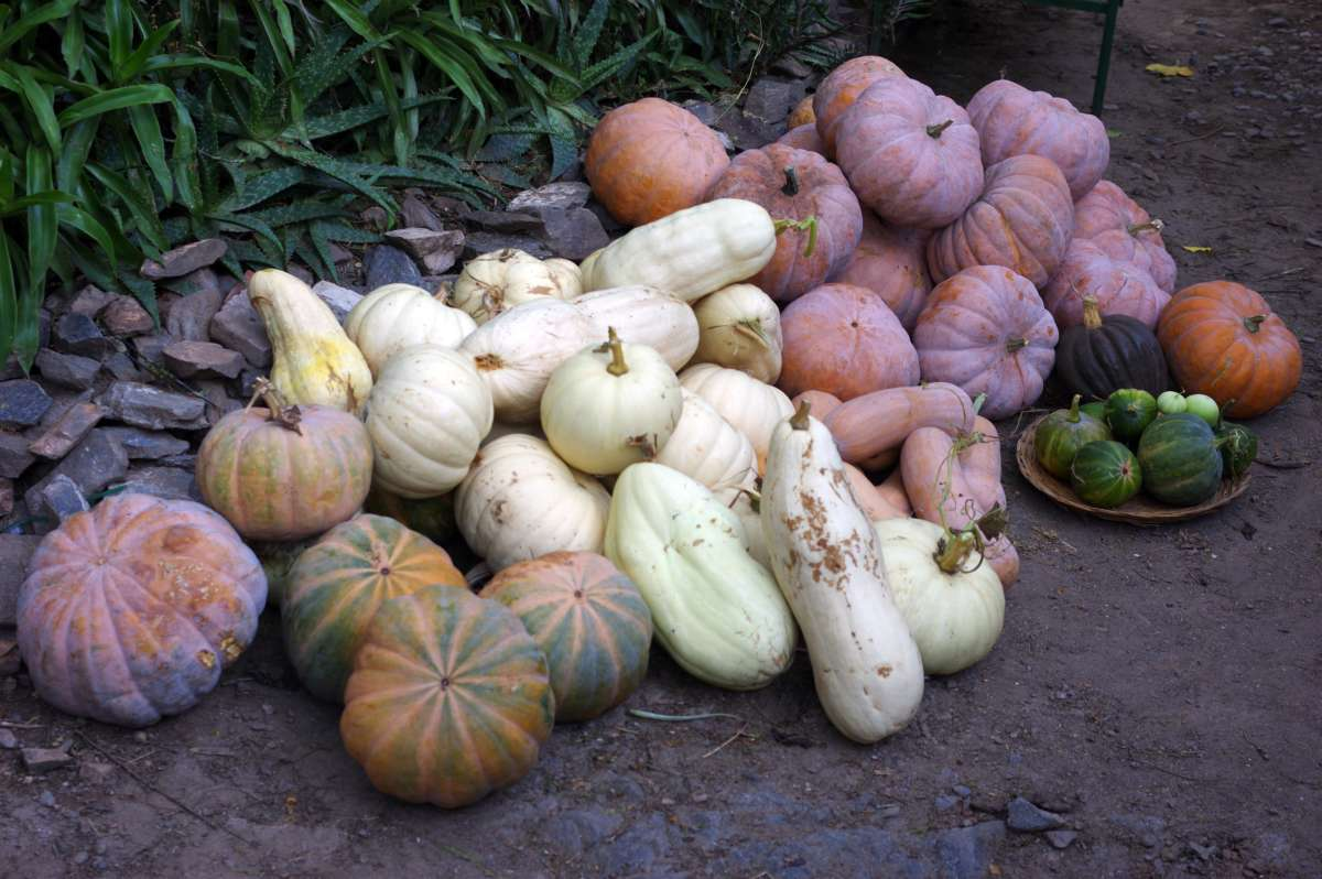Courges - Permaculture © Mllepix
