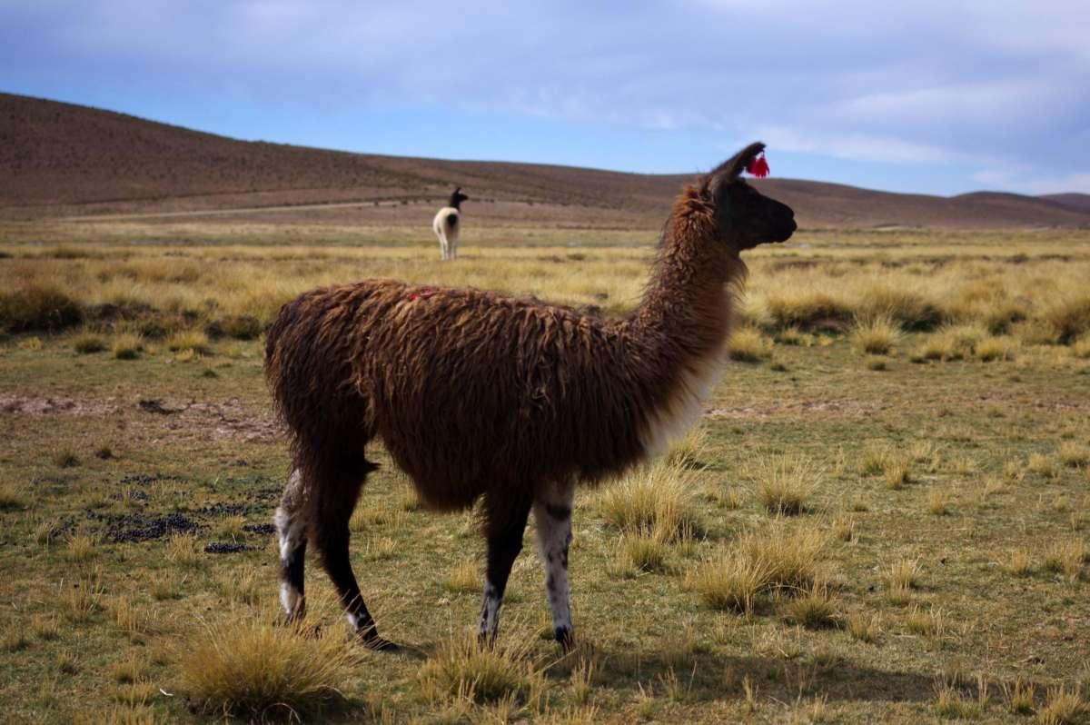 Lamas in Sud Lipez region © Mllepix